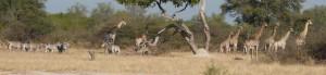 cropped-giraffe-and-zebra-small.jpg
