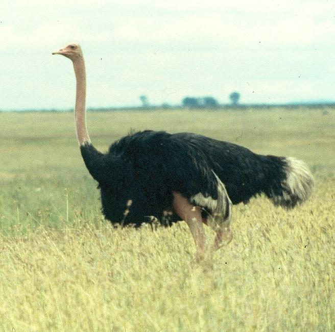 ostrich male copy