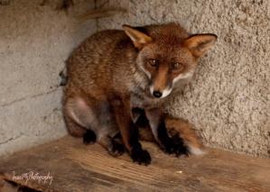 Grainne the Fox